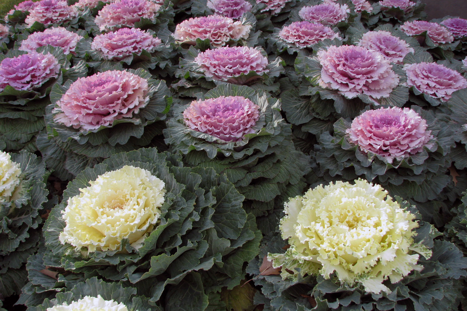 Ornamental_Kale.jpg