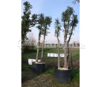 Verdeacqua service - Sughero pianta da giardino ...