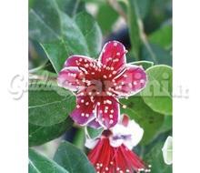 Guayabo del brasile feijoa sellowiana frutto for Pianta feijoa