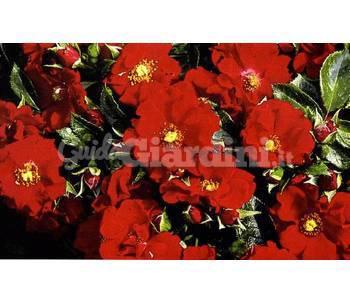 Pianta rosa 39 alpengluhen 39 for Rosa pianta