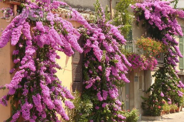 Piante rampicanti e sempreverdi come avere un balcone for Piante fiorite perenni da esterno
