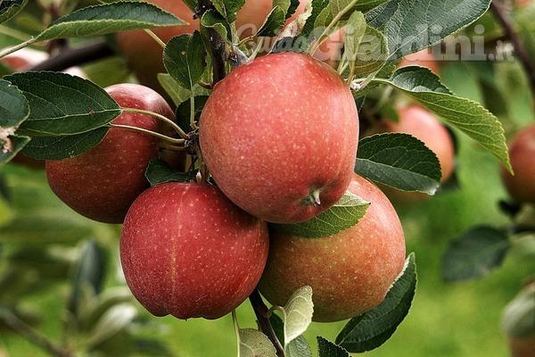 Quando e come (tra)piantare gli alberi da frutto