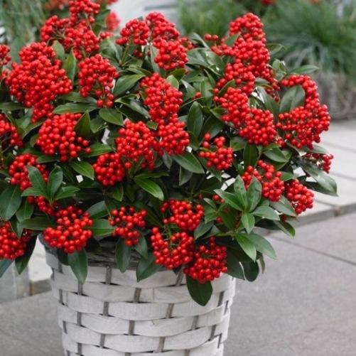 I colori dell autunno sul tuo balcone for Skimmia pianta