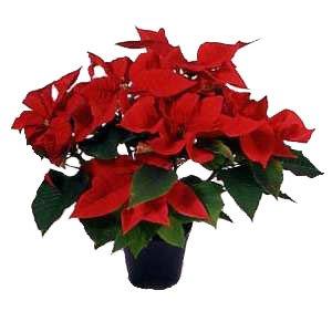 Come decorare con le piante a Natale - GuidaGiardini.it