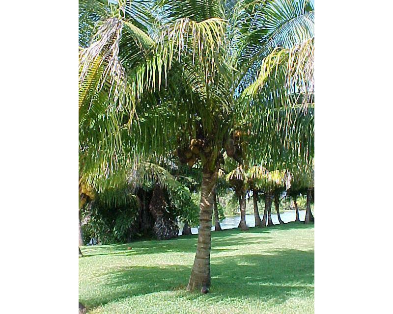 Palme cycas cocos come curare le piante esotiche - Palme nane da giardino ...