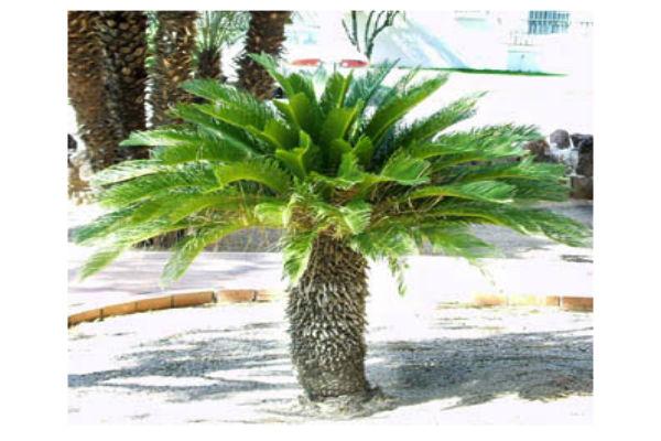 Palme, Cycas, Cocos: come curare le piante esotiche - GuidaGiardini.it