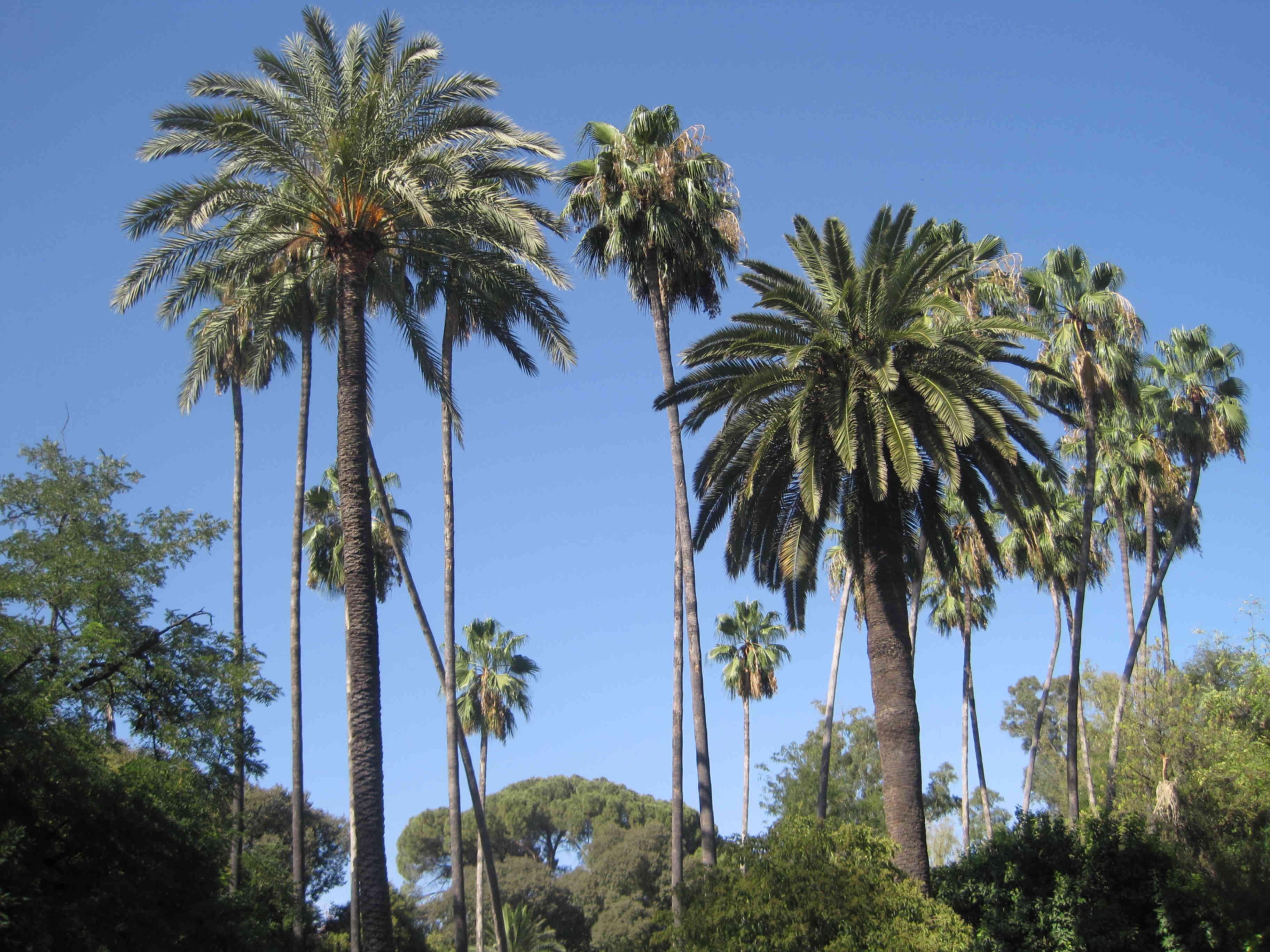 Palme cycas cocos come curare le piante esotiche - Costo palma da giardino ...