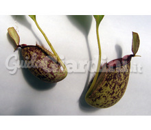 Nepenthes X Hookeriana Catalogo ~ ' ' ~ project.pro_name