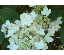 Pianta - Hydrangea Paniculata 'White Moth' Catalogo ~ ' ' ~ project.pro_name