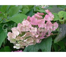 Pianta Di Hydrangea Quercifolia 'Alice'  Catalogo ~ ' ' ~ project.pro_name