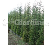 Piante Da Siepe: Cupressocyparis Leylandii Catalogo ~ ' ' ~ project.pro_name