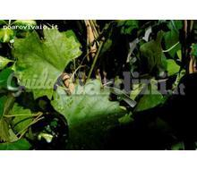 Cissus Capensis Catalogo ~ ' ' ~ project.pro_name