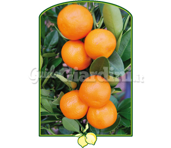Calamondino - Pianta Decorativa