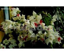 Clerodendrum Thomsoniae Catalogo ~ ' ' ~ project.pro_name