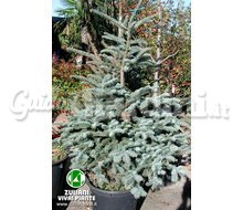Piante - Abies Procera 'Glauca' Catalogo ~ ' ' ~ project.pro_name