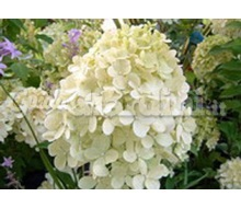 Pianta - Hydrangea Paniculata 'Lime Light' Catalogo ~ ' ' ~ project.pro_name