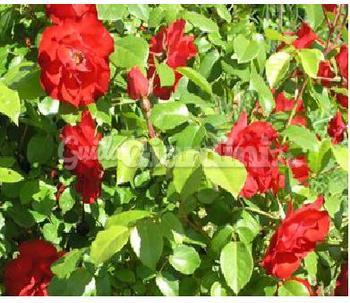 Pianta rosa 39 la sevillana 39 for Rosa pianta