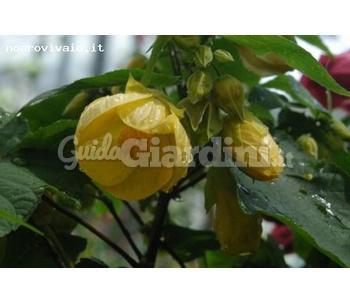 Abutilon X Hybridum Canary Bird