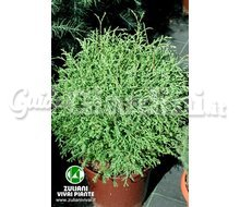 Piante Thuja Occidentalis 'Mr. Bowling Ball' Catalogo ~ ' ' ~ project.pro_name