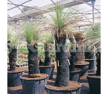 Xanthorrhoea Catalogo ~ ' ' ~ project.pro_name