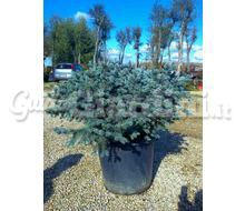 Picea Pungens Glauca Globosa Catalogo ~ ' ' ~ project.pro_name