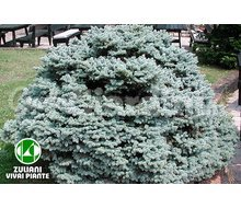 Piante Picea Pungens 'Glauca Globosa' Catalogo ~ ' ' ~ project.pro_name