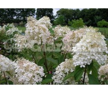 Pianta - Hydrangea Paniculata 'Phantom' Catalogo ~ ' ' ~ project.pro_name