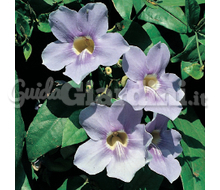 Thunbergia Catalogo ~ ' ' ~ project.pro_name