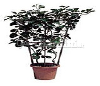 Catalogo di zelari piante pagina 2 for Pianta kiwi prezzo