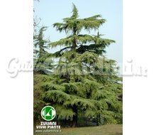 Pianta - Cedrus Deodara Catalogo ~ ' ' ~ project.pro_name