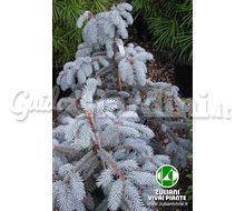 Picea Pungens 'Hoopsii' - Piante Catalogo ~ ' ' ~ project.pro_name