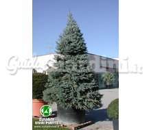 Picea Pungens 'Fat Albert' - Pianta Catalogo ~ ' ' ~ project.pro_name