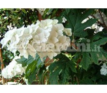 Pianta - Hydrangea Quercifolia 'Snow Queen'  Catalogo ~ ' ' ~ project.pro_name