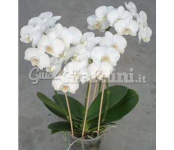 Catalogo di menin for Orchidea prezzo