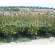 Piante Da Siepe: Photinia Red Robin Catalogo ~ ' ' ~ project.pro_name