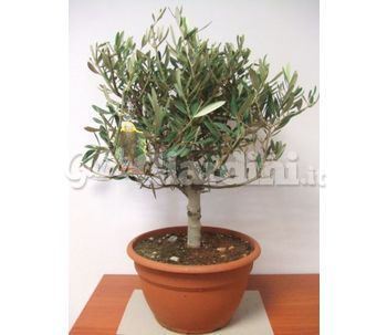 Olivo tipo bonsai for Olivo bonsai prezzo