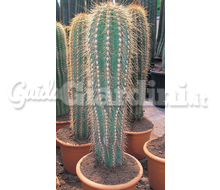 Trichocereus Catalogo ~ ' ' ~ project.pro_name