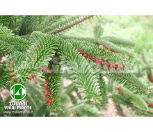 Pianta - Abies Pinsapo Catalogo ~ ' ' ~ project.pro_name