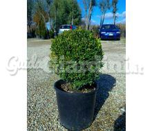 Buxus (Bossi) Catalogo ~ ' ' ~ project.pro_name