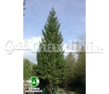 Piante - Picea Abies Catalogo ~ ' ' ~ project.pro_name