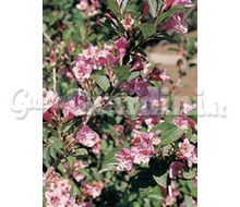 Weigela Catalogo ~ ' ' ~ project.pro_name