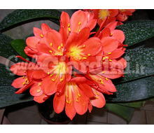 Pianta - Clivia Miniata  Catalogo ~ ' ' ~ project.pro_name