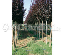 Assortimento Di Alberi  Catalogo ~ ' ' ~ project.pro_name