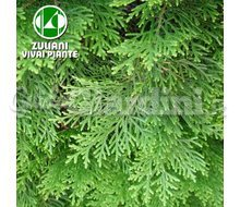 Piante - Thuja Occidentalis Catalogo ~ ' ' ~ project.pro_name
