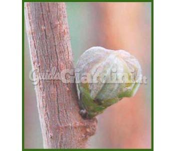 Catalogo di martino vivai pagina 2 for Pianta nocciolo prezzo