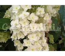 Pianta - Hydrangea Quercifolia 'Snow Flake'  Catalogo ~ ' ' ~ project.pro_name