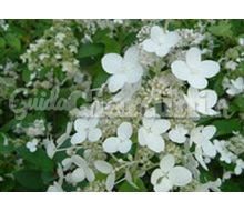 Hydrangea Paniculata 'Unique' Catalogo ~ ' ' ~ project.pro_name