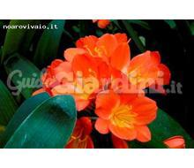 Clivia Miniata Catalogo ~ ' ' ~ project.pro_name