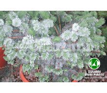 Piante - Picea Sitchensis 'Silberzwerg' Catalogo ~ ' ' ~ project.pro_name