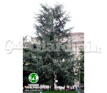 Piante - Cedrus Atlantica 'Glauca'  Catalogo ~ ' ' ~ project.pro_name